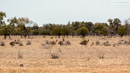 Emu's just off the Balonne Highway.