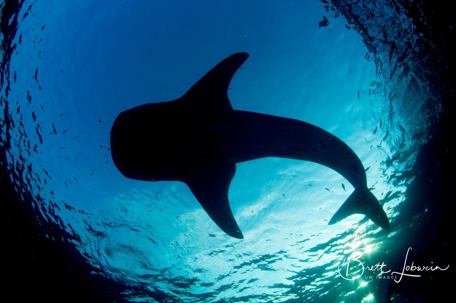 Sun soaked Whale Shark