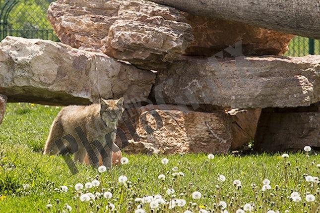 Bobcat 2K3A1709