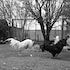 Cock Fight Harden - Each archival photograph is stamped and signed by Robert and a brief description of how it was taken. The options are as follows: -...