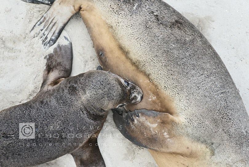 A New Addition, Seal Bay© - A New Addition Seal Bay, Kangaroo Island, South Australia Open Edition