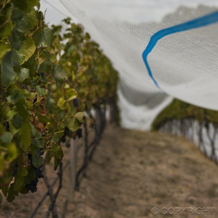 BC Somerled Pinot vines 3 _6646 - The story of Somerled Wines 2013 Pinot Noir Rose'.