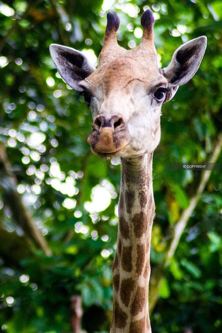 11 - Giraffe