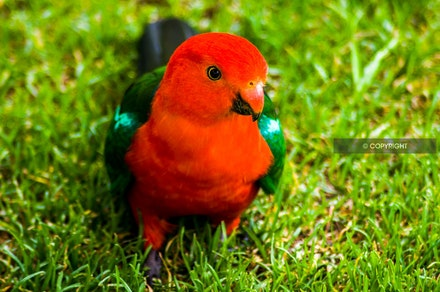 17 - King Parrot