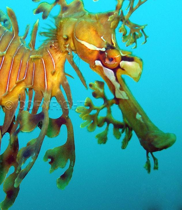 Leafy sea dragon portrait - OLYMPUS DIGITAL CAMERA