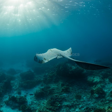 Stingray - A stingray glides towards the sunlight on the Great Barrier Reef.
