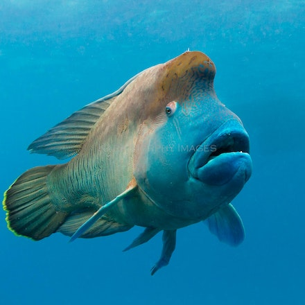 Comical wrasse - Wally the humphead wrasse wears a comical expression as he swims near divers on the Great Barrier Reef.