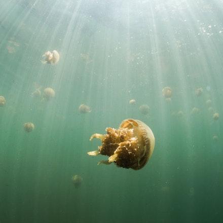Jellyfish Lake, Raja Ampat - Jellyfish, with a sting so mild it's undetectable, inhabit a lake in Misool, Raja Ampat, Indonesia.