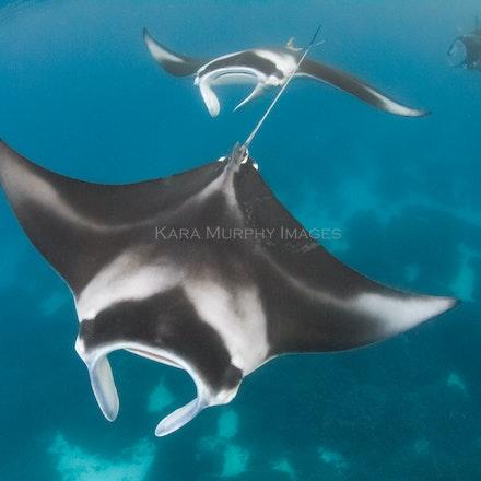 Manta courtship train (July 31, 2016) - Male manta rays pursue a female, forming a courtship train, Lady Elliot Island, Australia.