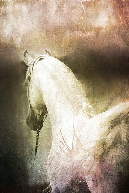 New Year Pastel - Purebred Arabian white stallion, Silver Wind Van Nina. Digital painting based on a photo by Sharon Meyers Photography.