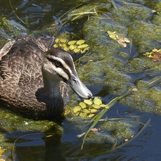 The Lake - This is a gallery of images taken on the Gold Coast. It features mostly ducks and water fowl.