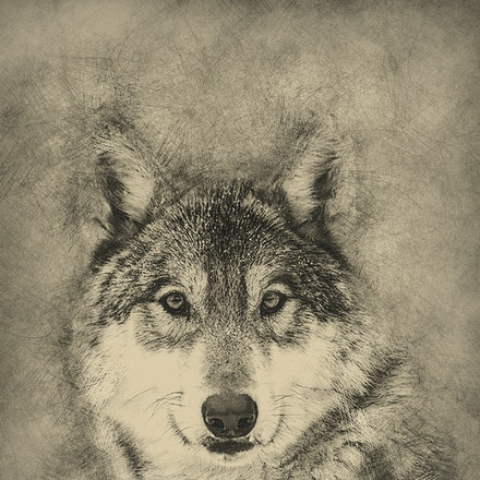 Wolf Pencil 36x24