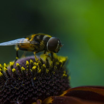 Hoverfly face to face