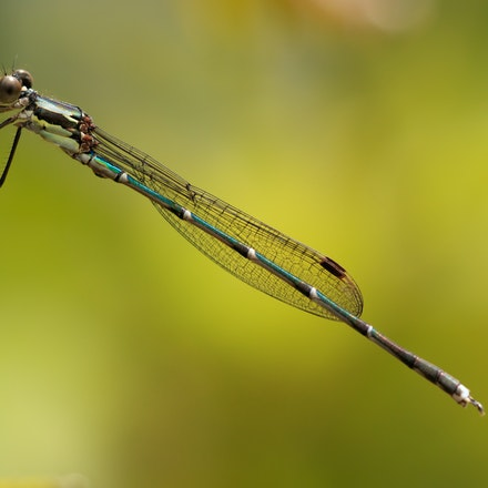 Blue Damselfly - Austrolestes colensois