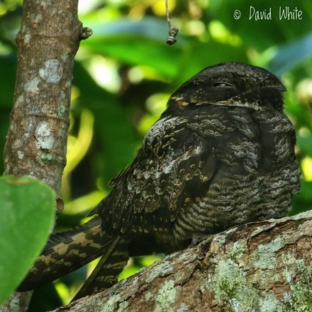 Large Tailed Nightjar  Caprimulgus macrurus - Large Tailed Nightjar  Caprimulgus macrurus