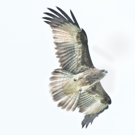 Swamp harrier, Circus approximans - (press for more images) Swamp harrier, Circus approximans