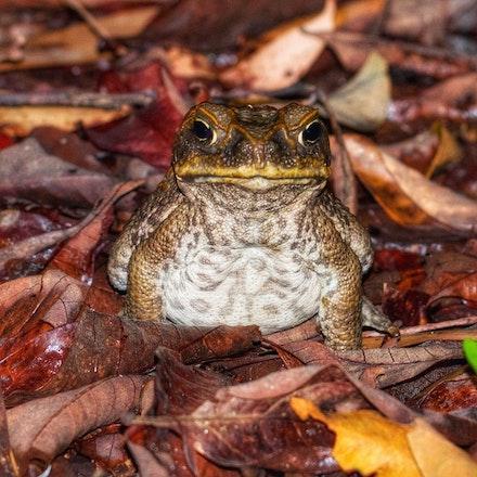 Cane Toad , Rhinella marina - Cane Toad , Rhinella marina