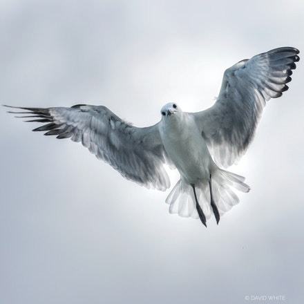 Silver Gull  Chroicocephalus novaehollandiae - Silver Gull  Chroicocephalus novaehollandiae